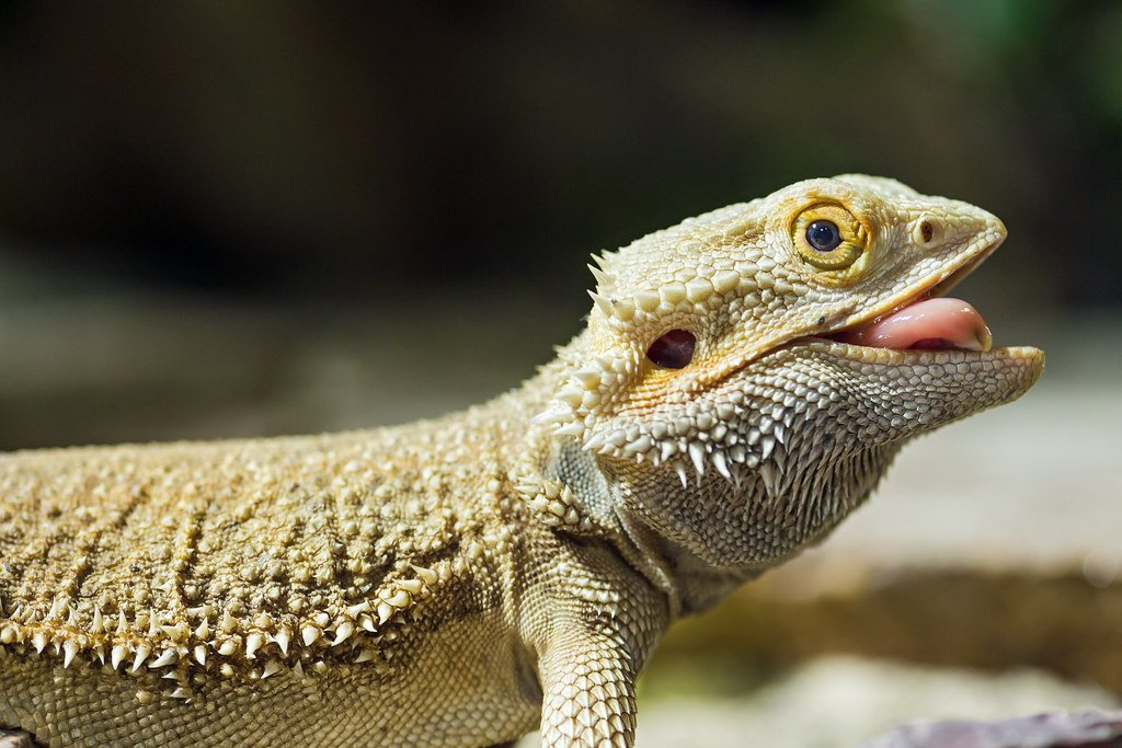 Bearded-Dragon-Free-of-Scale-Rot