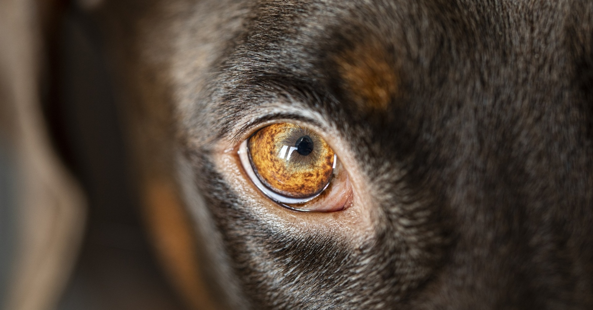 cleaning dog eyes